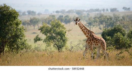 Uganda. Queen Elizabeth National Park.The giraffe walks on savanna.
