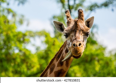 Ugandagirafe - Shutterstock ID 427810831