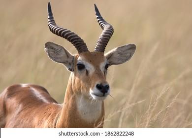 Ugandan kob antelope free ranging the African savanna