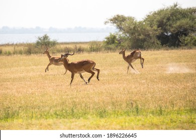 The Ugandan Kob antelope (Kobus kob thomasi) is a subspecies of the Kob antelope. Featured on the Ugandan coat of arms, The kob male has horns while the females (in the background) do not.