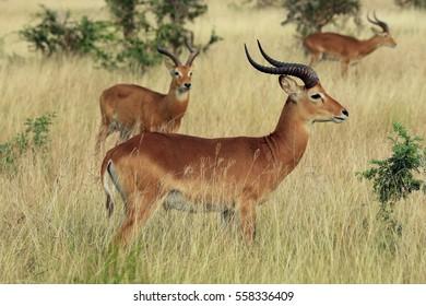Ugandan Kobs (Kobus kob thomasi). Ishasha, Queen Elisabeth, Uganda