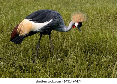ugandan national bird grey crowned crane on a meadow