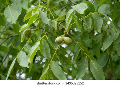 uglans regia, the Persian walnut, English walnut, Circassian walnut, or especially in Great Britain, common walnut