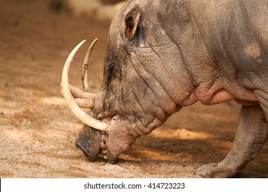 ugly babirussa head called pig deer with large upwards incurving canine tusks in singapore zoo