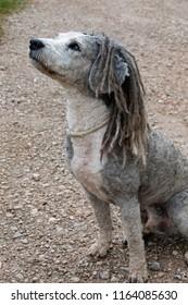 UGLY DOG WITH dreadlocks or rastafari dog or rastafarian dog or dog hairstyle