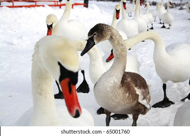 Ugly Duckling (gray swan) among white swans walking in the snow