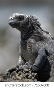 Ugly Iguana from the Galapagos Islands
