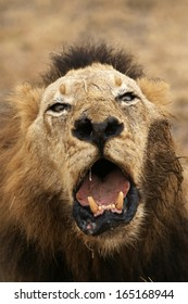 Ugly Male Lion
