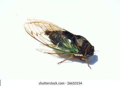 Ugly noisy bug called cicada on white background
