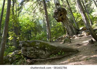 Ugly tree (Taganay)