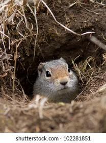 Uinta ground squirrel in his den