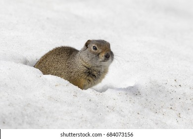 uinta ground squirrel out of deep snow burrow in early spring