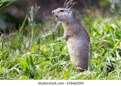 Uinta Ground Squirrel (Spermophilus armatus) standing up to make an alarm call in Grand Teton National Park, Wyoming, USA