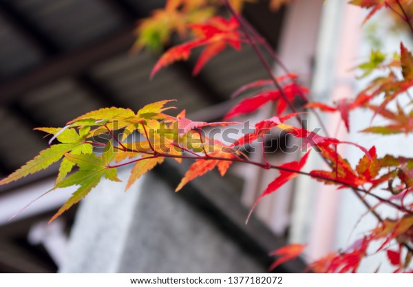 Uji city, Kyoto Prefecture, Japan. Japanese momiji maple leaves changing colors from green to yellow and red