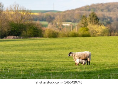 UK, Bunny Hill Top, June 2019 - Ewe and Lambs standing in a green field
