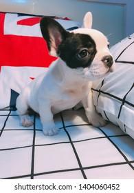 uk flag blackground french bulldog
