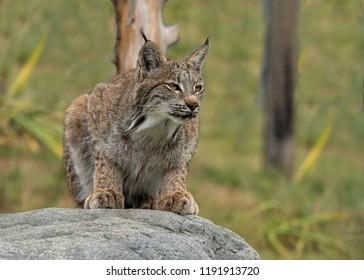 UK, Hamerton Zoo - 17 Aug 2018: Candian lynx in captivity
