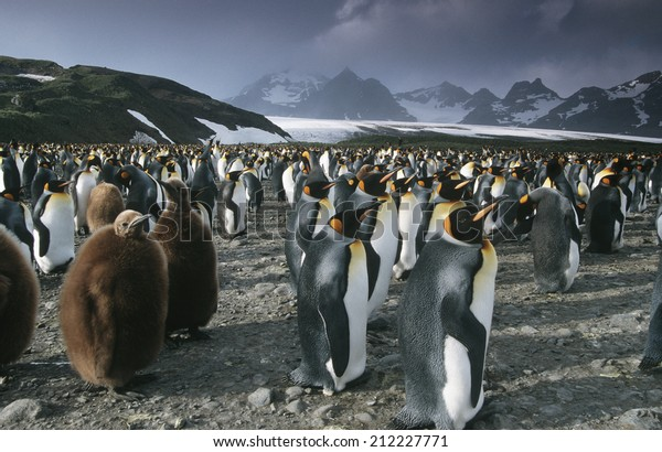 UK, South Georgia Island, colony of King Penguins