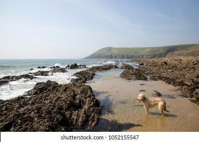 UK, Wales, Pembrokeshire, Manorbier Bay in spring sunshine, paddling dog