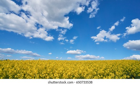 Ukraine flag yellow-blue on the fields. Picture of the blue sky and yellow rape.