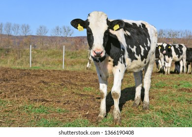 Ukraine, Kalush - October 31, 2018 : Calves i in a yard for livestock on a dairy farm near the city of Kalush.