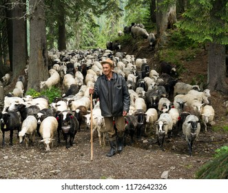 Ukraine, Rakhiv, June 7, 2018: traveler in the Carpathians, meets among wild forests and green grasses in the valley grazing romantic pastoral herds of curly woolen sheep with shepherds