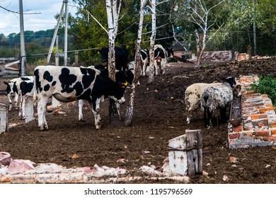 Ukrainian farm with meat cows and bulls