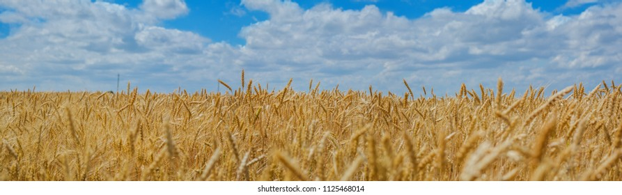 Ukrainian landscape, panoramic photo - wheat field and blue sky.