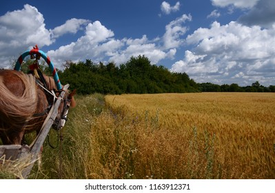 Ukrainian summer landscape with wheat fields and blue sky