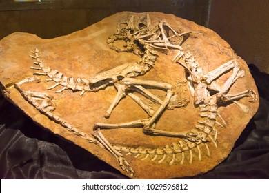 ULAANBAATAR, MONGOLIA - Jun 23 2017: Ornithomimidae specimen at Central Museum of Mongolian Dinosaurs. a famous Tourist spot in Ulaanbaatar, Mongolia.