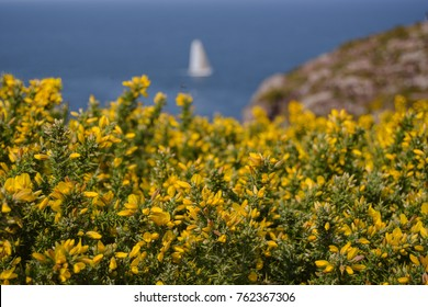 Ulex europaeus, yellow gorse, cap frehel view