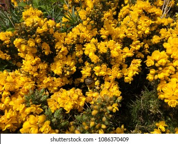 Ulex (Gorse) yellow flowers of the spiky plant with a smell of coconut on the Howth seaside  in Ireland