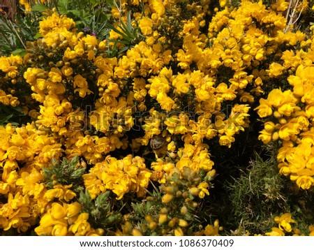Ulex Gorse Yellow Flowers Spiky Plant Stock Photo Edit Now