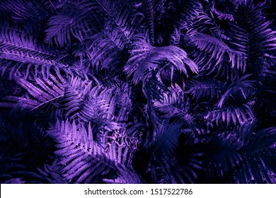 Ultra violet moody color nature background trend. Tropical leaves of fern plant.