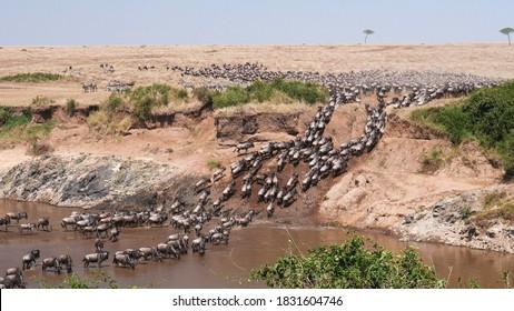 ultra wide angle shot of wildebeest herd crossing the mara river at masai mara national reserve in kenya