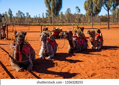 ULURU, NORTHERN TERRITORY, AUSTRALIA - 15 JUNE 2014: Camels at the Uluru Camel Farm sit patiently in the red desert sand, all saddled up and awaiting the arrival of the the next group of tourists.