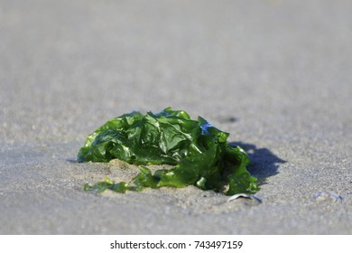 Ulva lactuca. Close-up of sea lettuce in sand flat at low tide in the Wadden Sea at sunlight, Langeoog. Germany. Typical plant in the Wadden Sea. World cultural heritage.