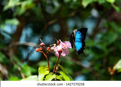 Ulysses Swallowtail butterfly feeding on rhododendron