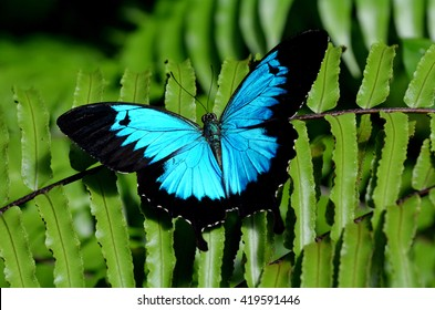Ulysses Swallowtail (Papilio ulysses) is a large swallowtail butterfly of Australasia.  This butterfly is used as an emblem for tourism in Queensland, Australia.