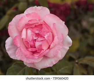 Uma flor, one flower