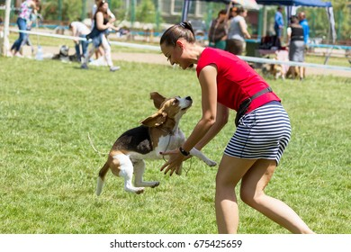 UMAN, UKRAINE -10 June 2017: International Cynological Exhibition of Dog Contest. Participants of dog show contest present their pets on program of competitions. Charming beagle