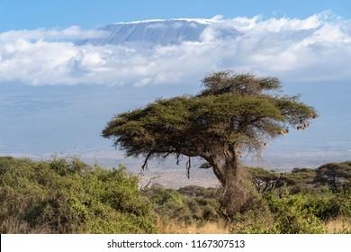 Umbrella acacia on mount Kilimanjaro background