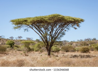 Umbrella acacia trees tend to be isolated from any other large plants in Botswana