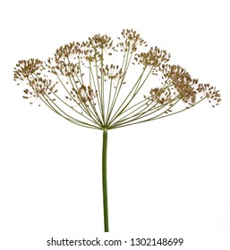 Umbrella of a garden herb plant Dill (Anethum graveolens) with seeds isolated on a white background.