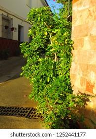 Umbrella plant on street corner in Andalusian village
