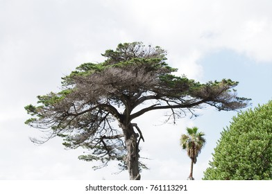 Umbrella shaped pine tree with dry branches edged against blue clouded sky