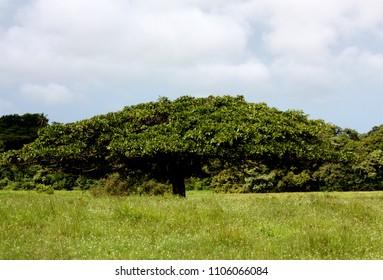 Umbrella tree in a green field in Costa Rica