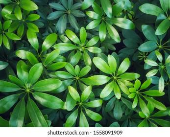 Umbrella Tree, Octopus tree,Schefflera arboricola (Hayata )cv, araliaceae.Shrub beautiful green background..leaves wallpaper.