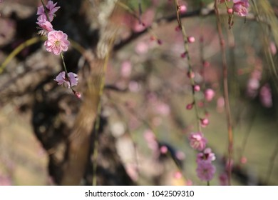 Ume Flowers - A Symbol of Spring
