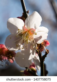 Ume plum (Japanese apricot) in full bloom in the beginning of march at Kitano Tenmangu shinto shrine